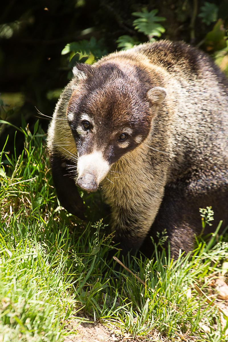 Coati at Monteverde.jpg