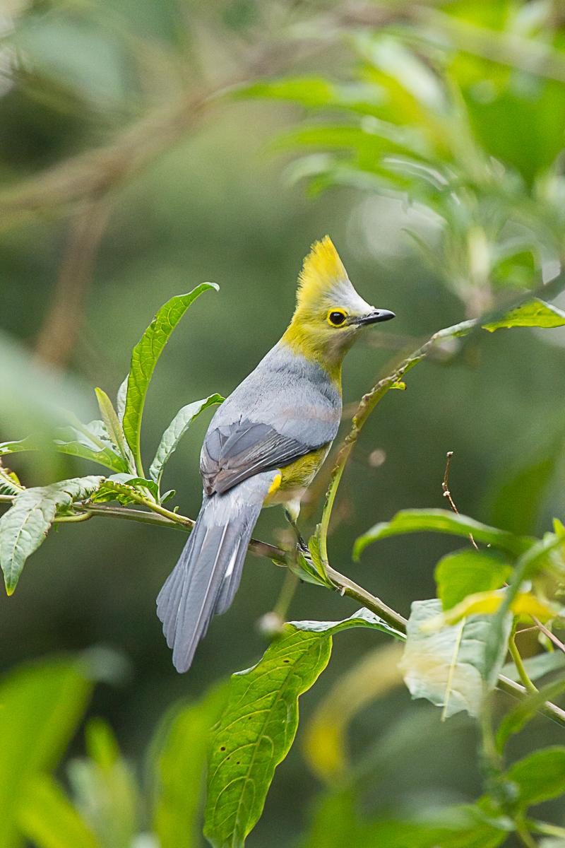 silky flycatcher.jpg
