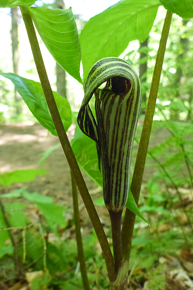 Jack-in-the-pulpit,  Arisaema triphyllum