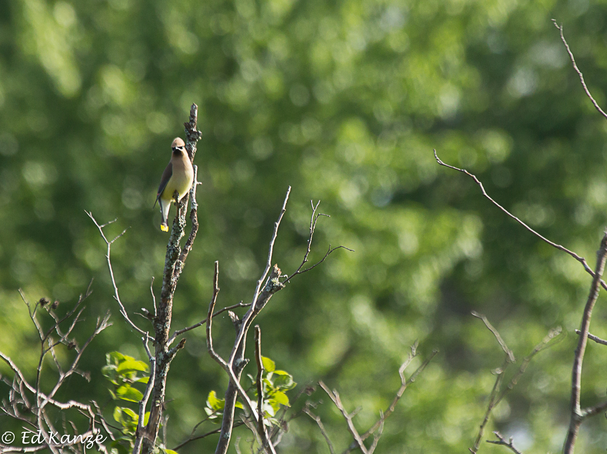 Cedar waxwings kept busy in and around nearby shrubs and trees, snatching insects from the air before shooting off to gather wild strawberries for dessert.