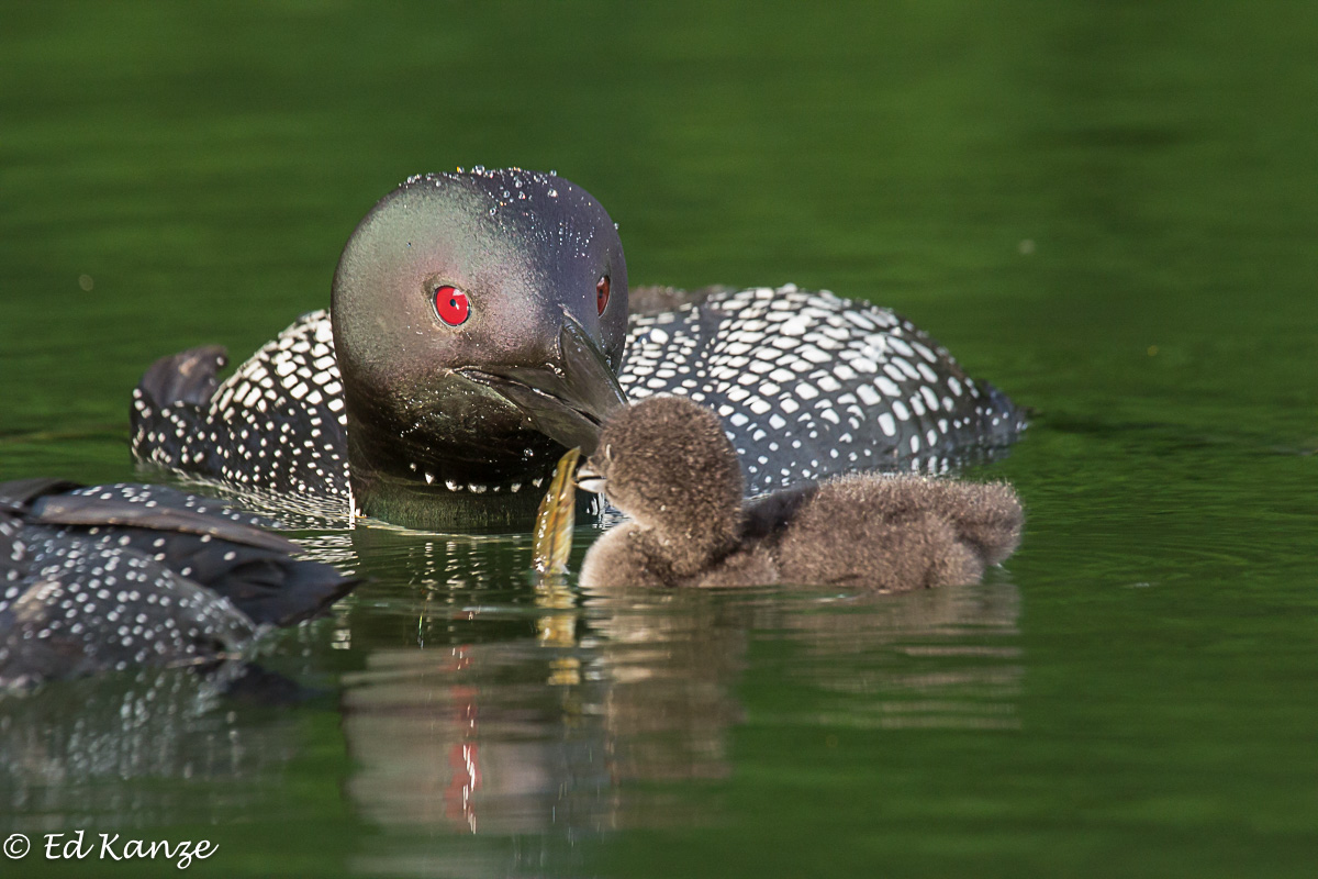 Loon feeding chick.jpg