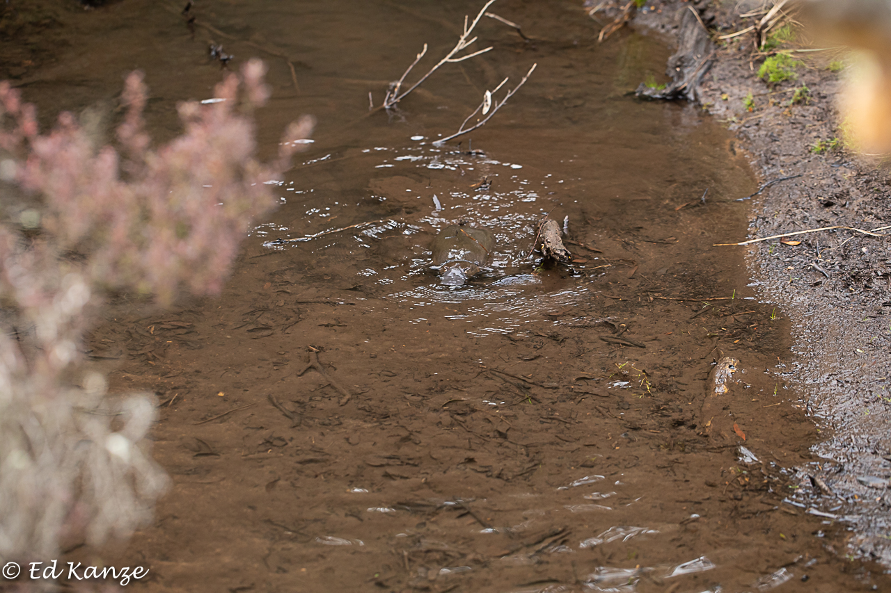 Platypus 3.jpg