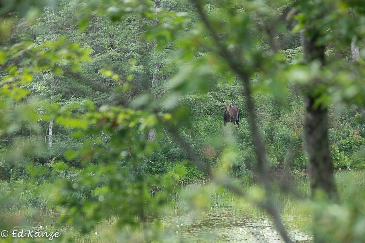 Moose glimpse.jpg