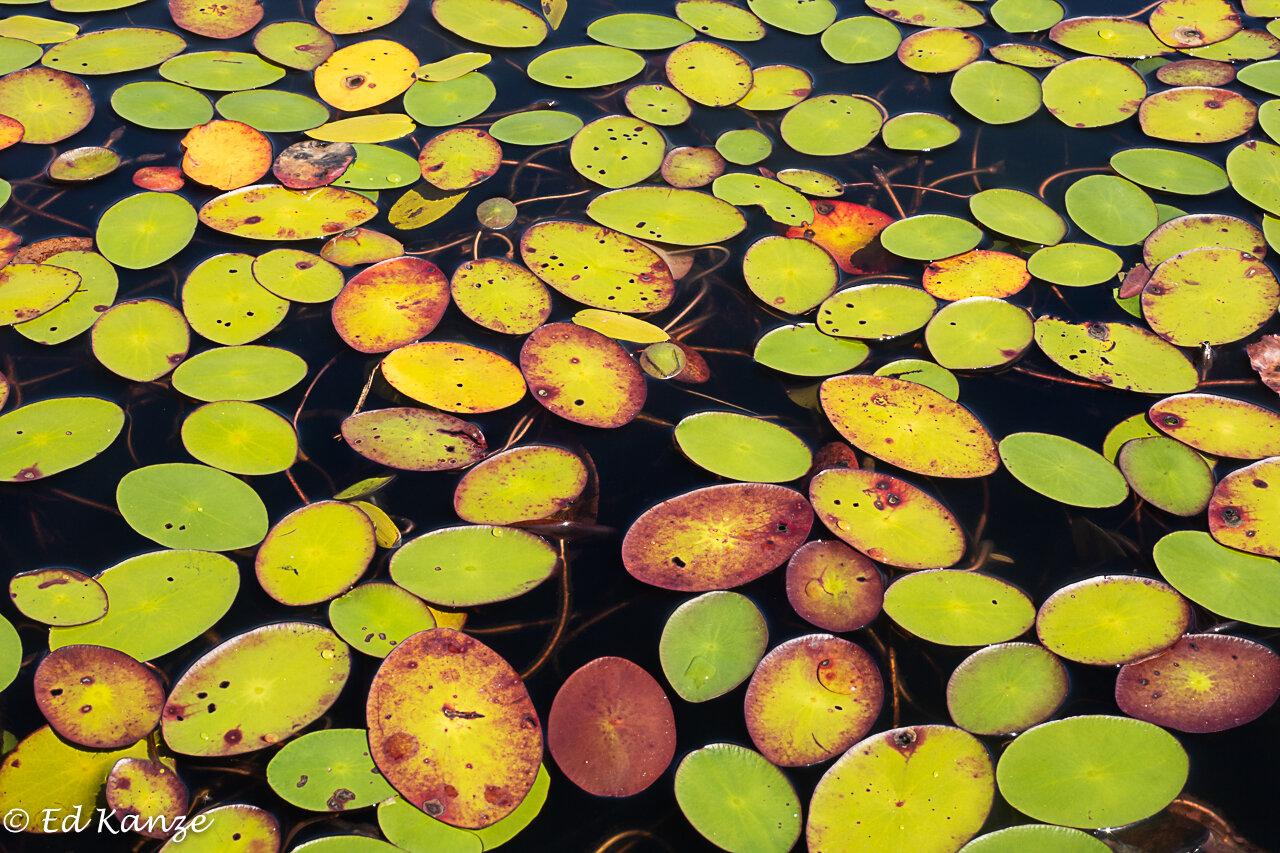 Grass Pond water shields.jpg