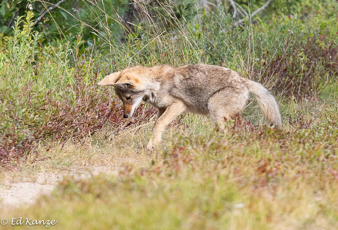 A coyote pup hunting for grasshoppers