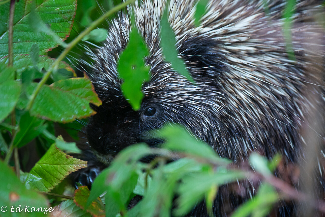 A porcupine eating blackberry leaves and canes