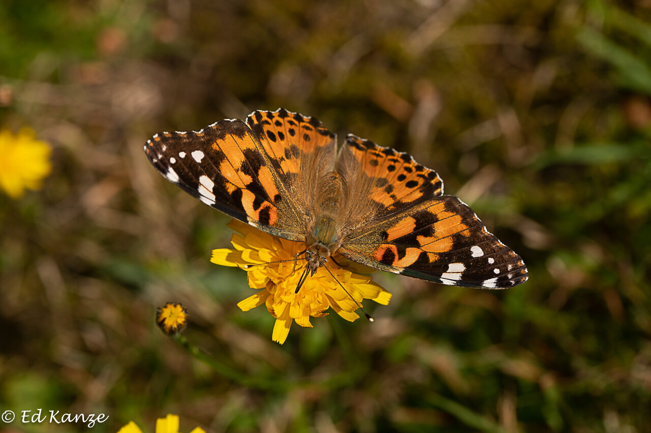 A painted lady butterfly on its way South