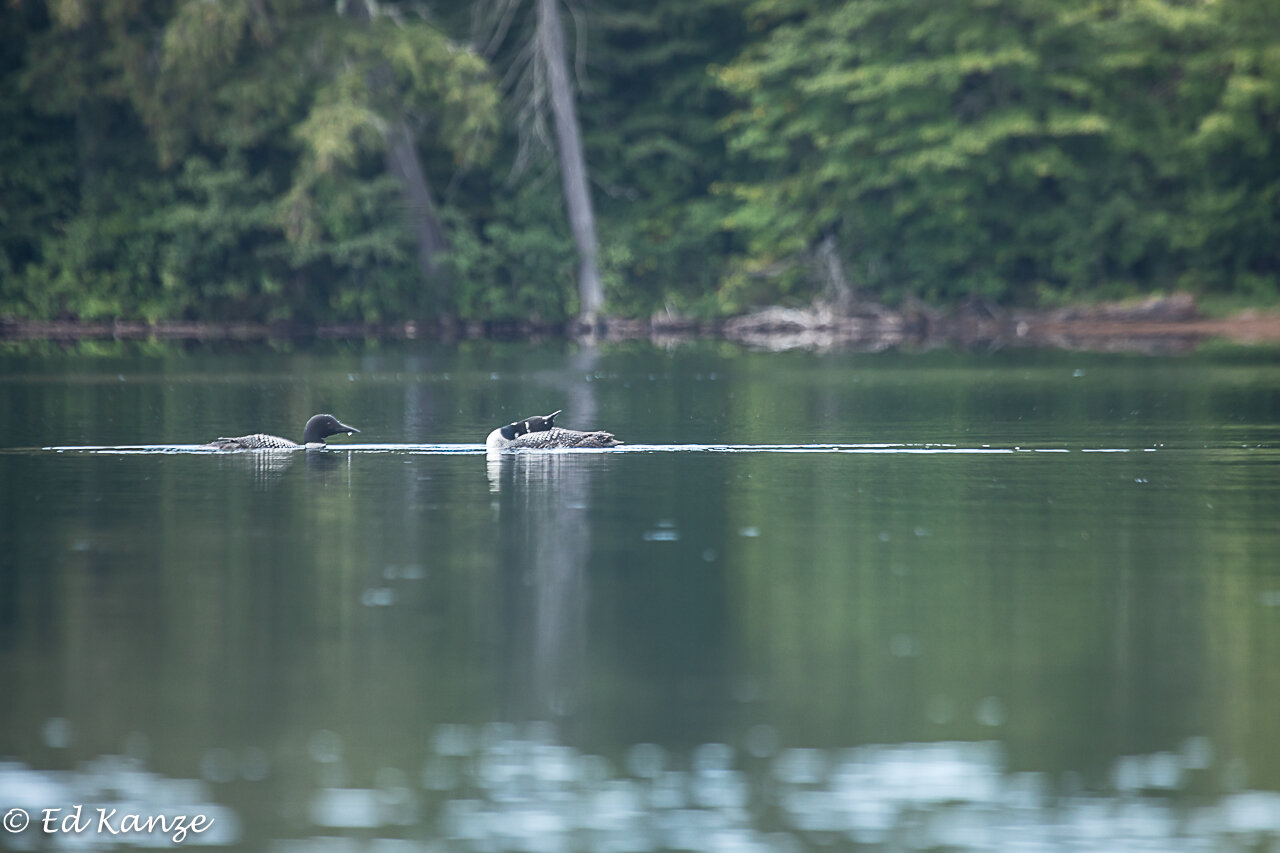 A loon pair at ease on an early fall day