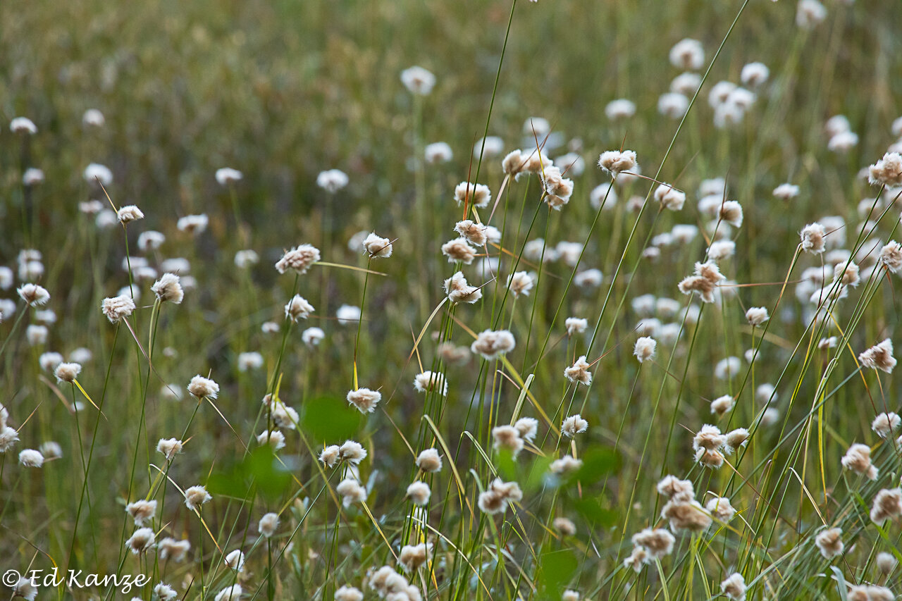 Cottongrass, a bog sedge, in seed, a sign of the season