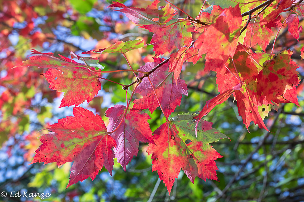 Red maple leaves beginning to blaze