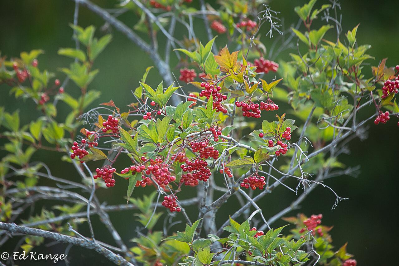 Cranberry viburnum fruits