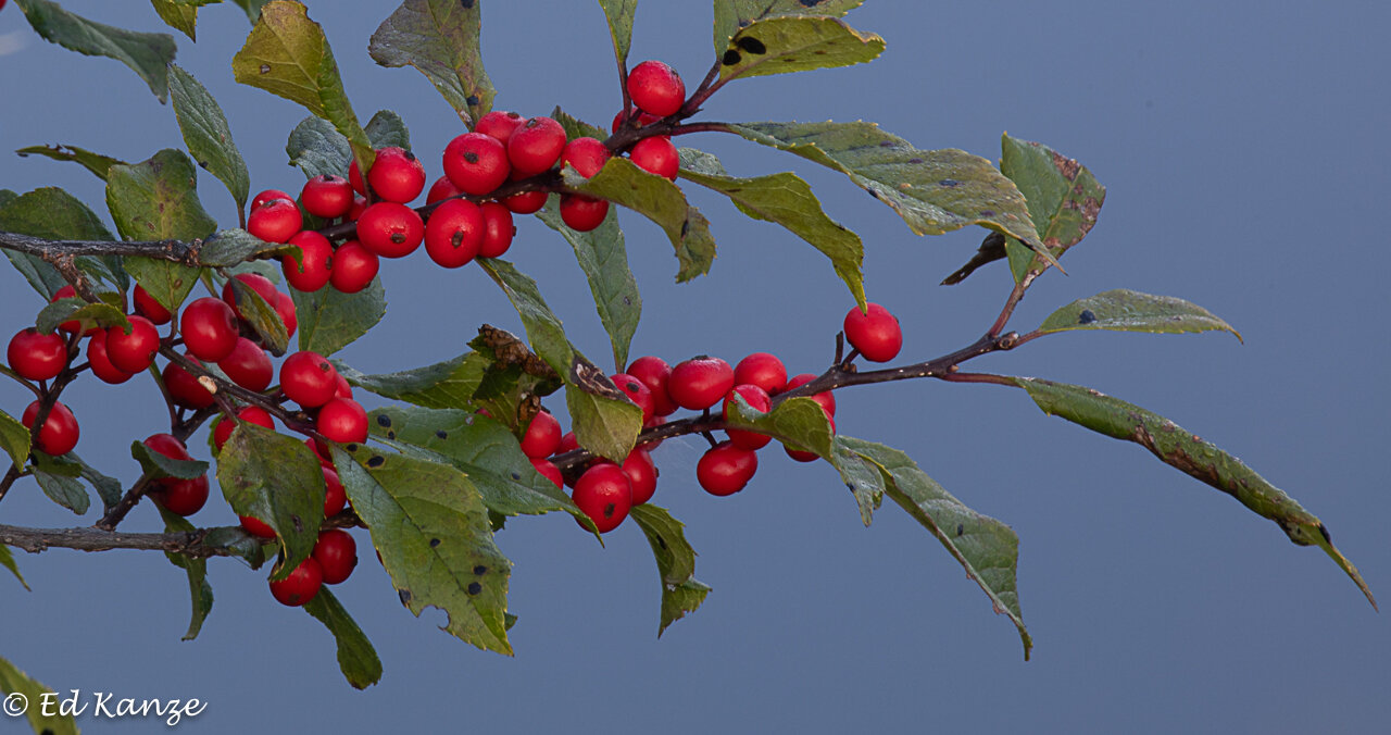 Winterberry holly fruits abound this year