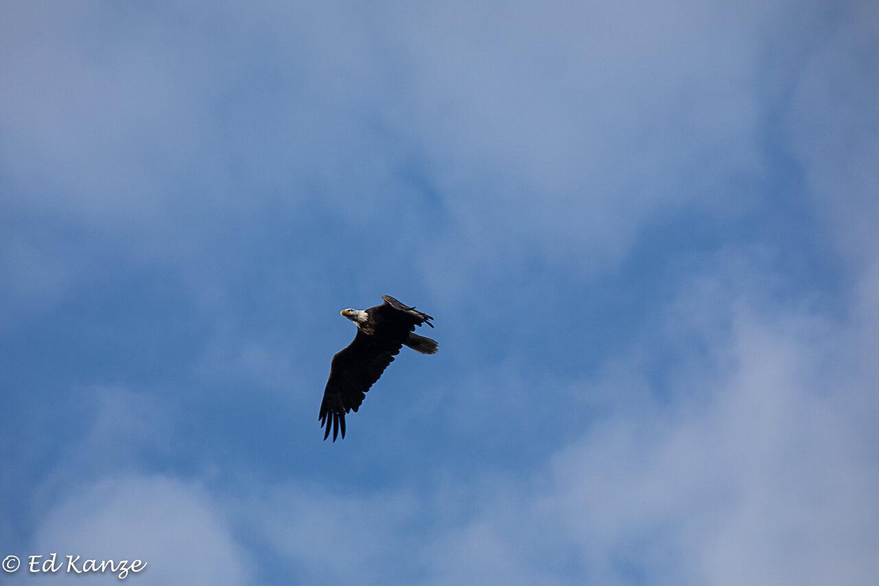 A bald eagle, a common sight over the Saranac