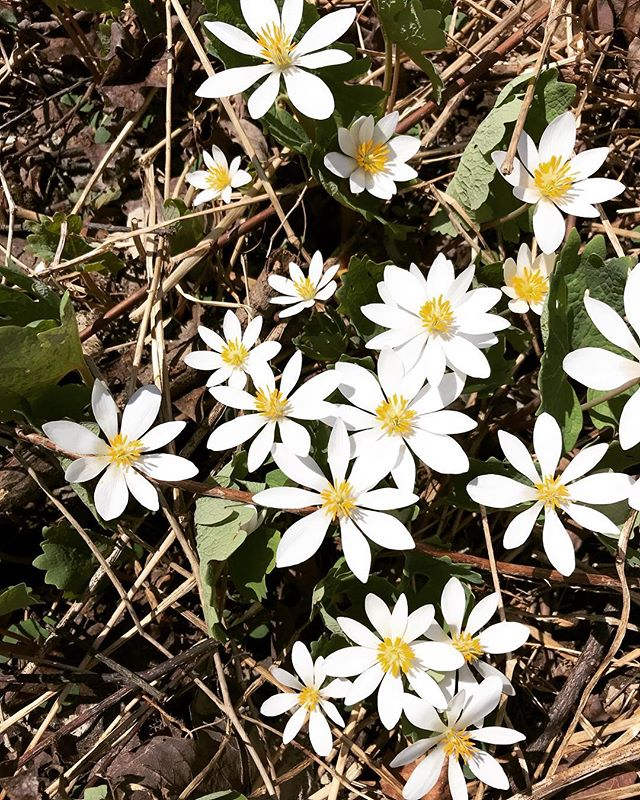 Beautiful Bloodroot gracing our mountain forests with her flowers this week. It's the biggest bloodroot bloom I've ever seen around here ... anybody else noticing the same?