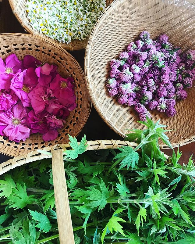 Early summer's abundance 💕 The beauty and potency of plants. Chamomile, Rose, Red Clover, Motherwort.