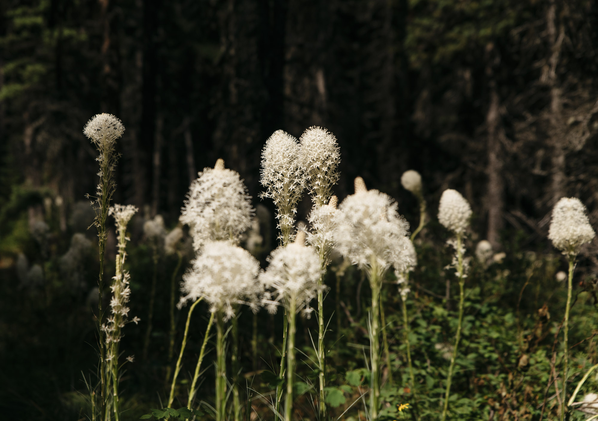 Bear Grass, Glacier National Park