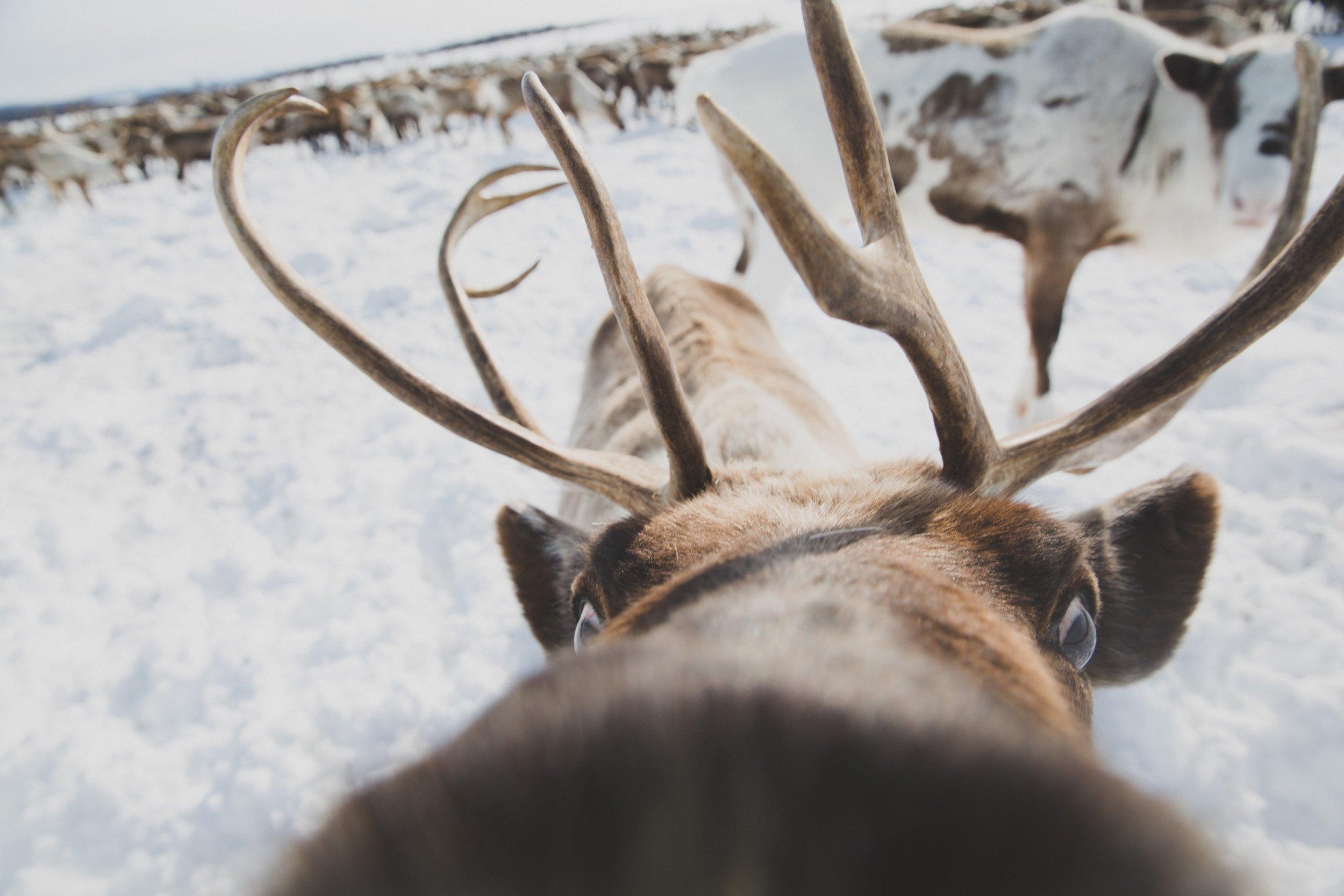 reindeer-kamchatka-travel-russia-trip-inertia.jpg