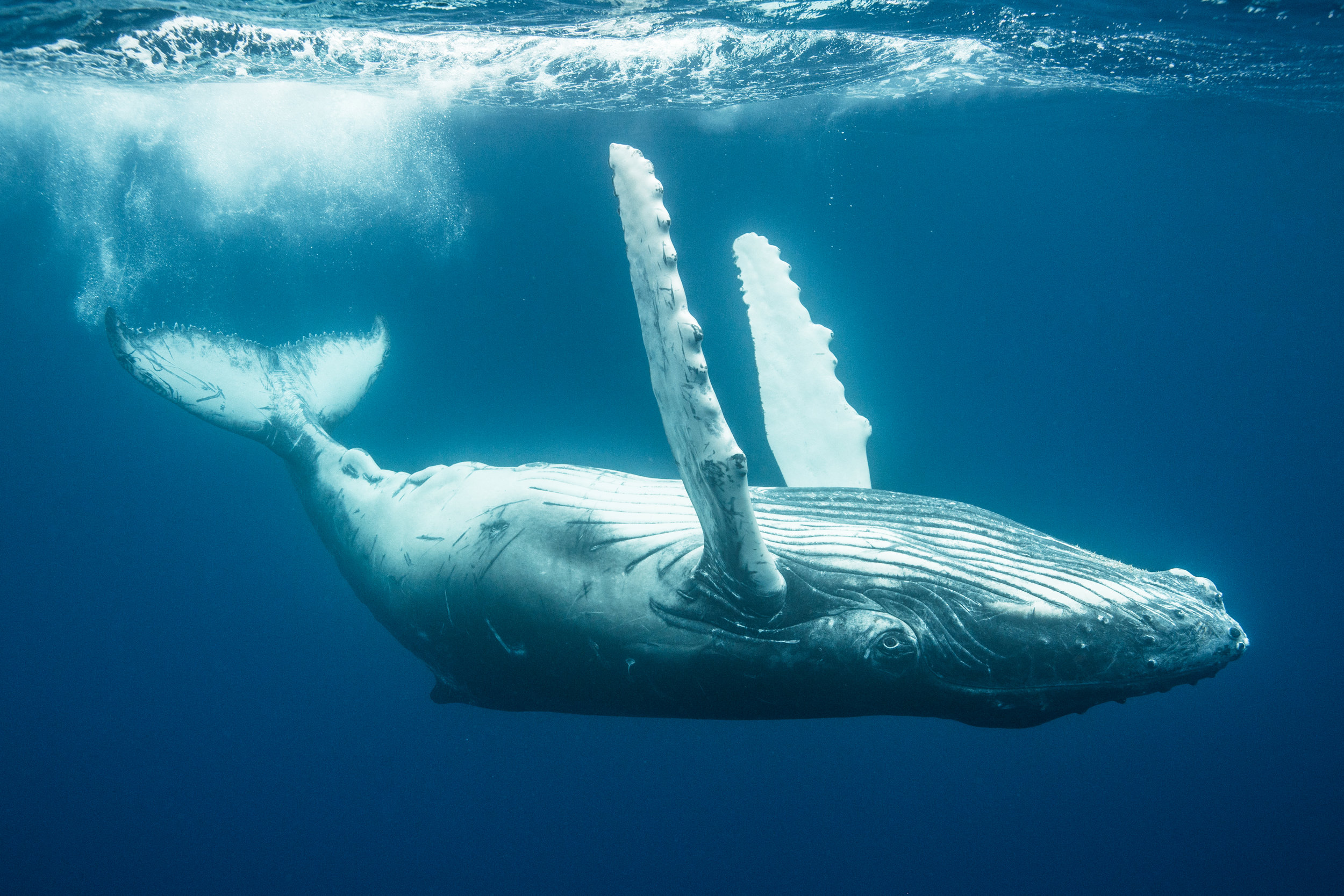 A baby humpback rolls around at the surface of the water, gleefully exposing its belly to the surface.