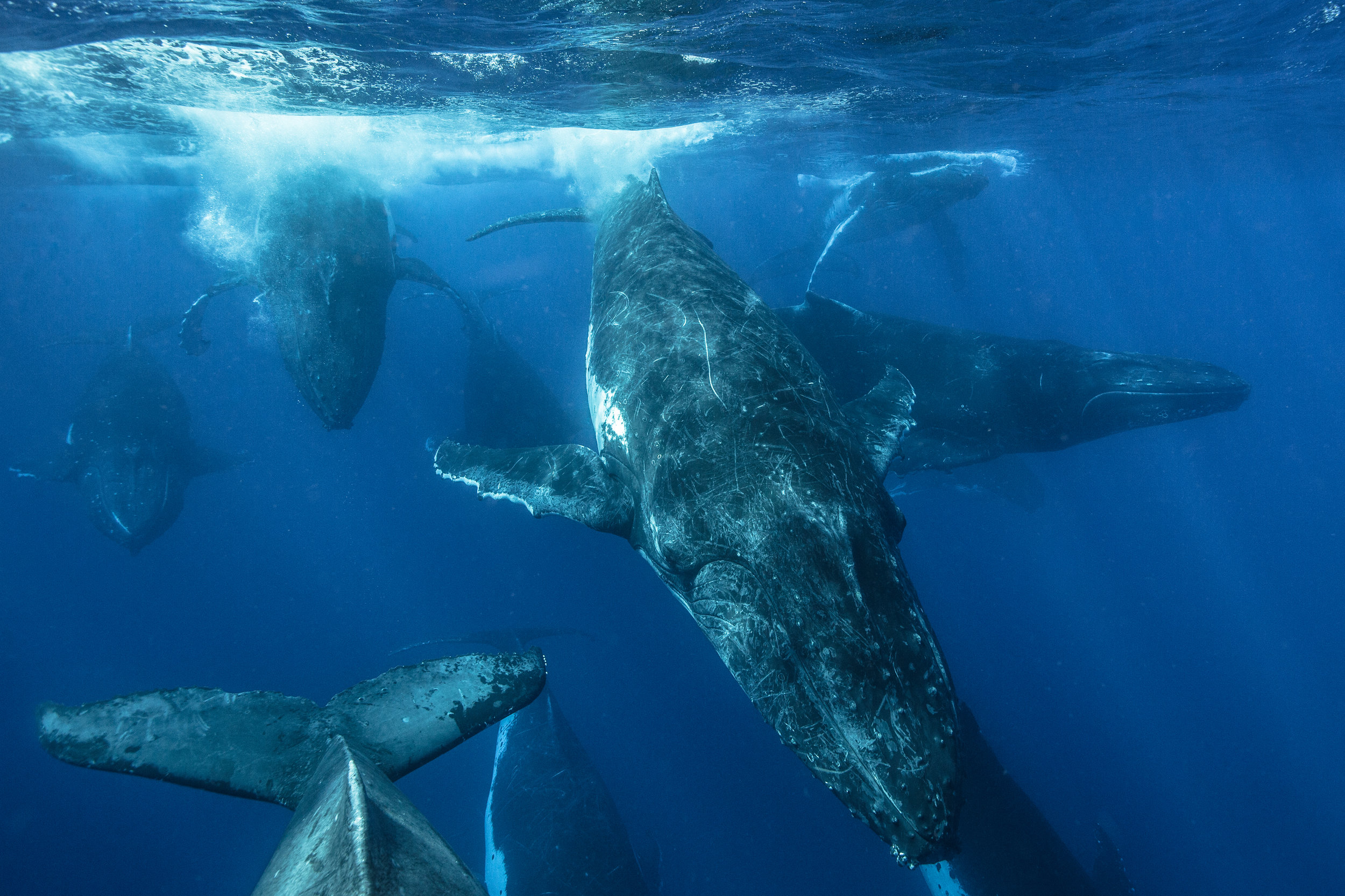 Adult male whales compete against each other in a gigantic, multi-hour race known as a heat run. Started by the female in heat by slapping their fin along the surface of the water, the males jostle for position behind her.