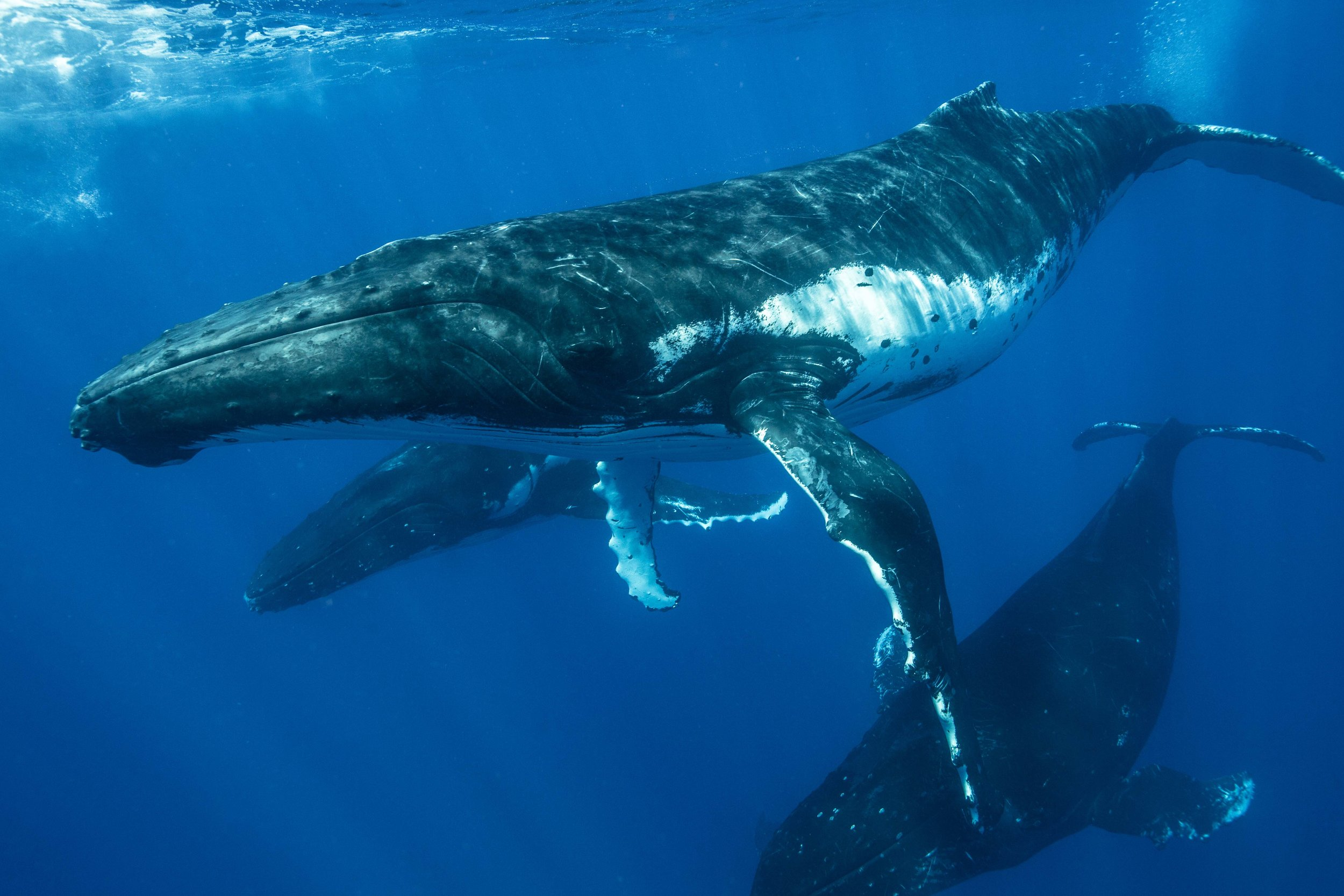 Male whales soar through the clear, deep water off the southern islands of Vava'u in Tonga.