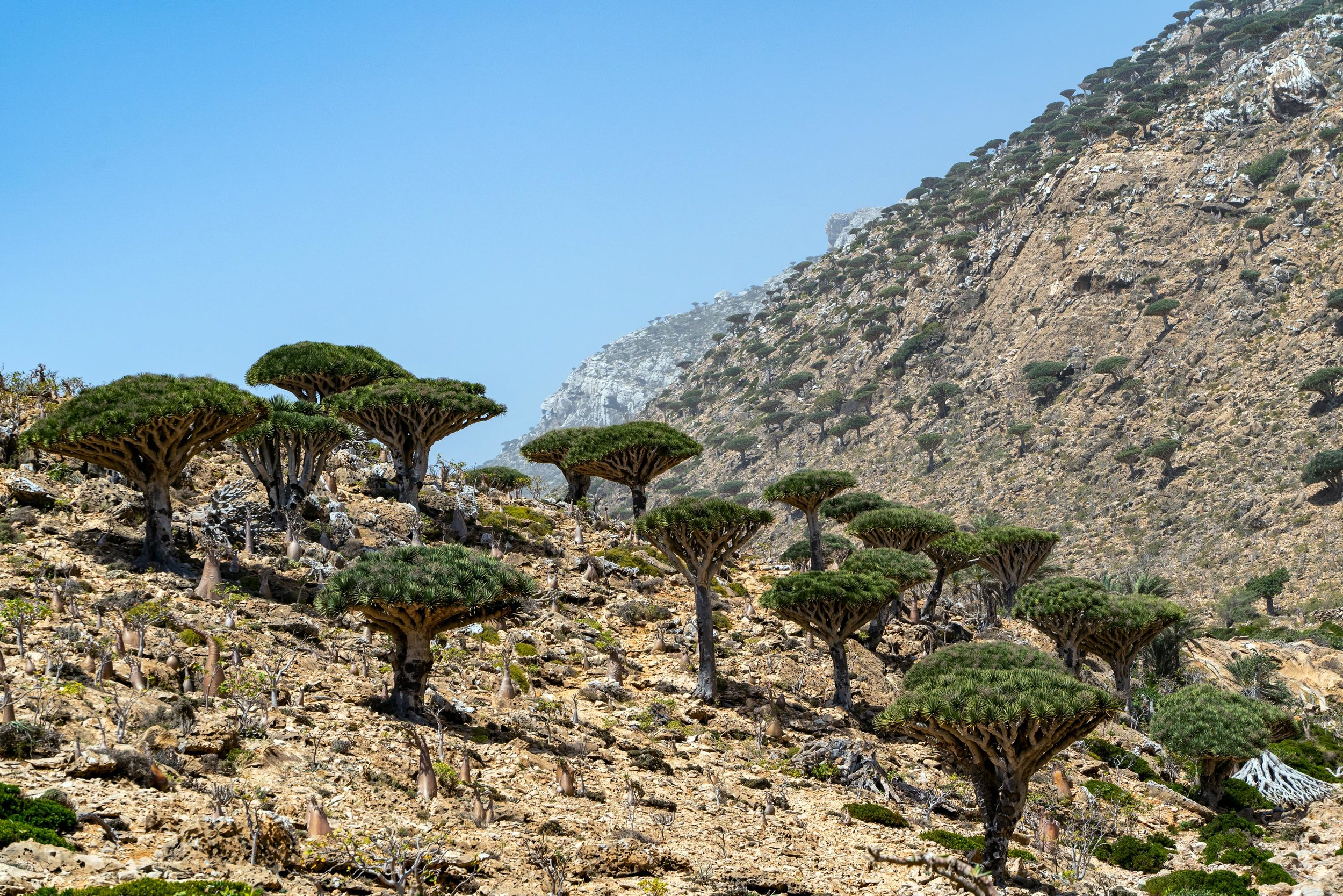 The Homhil Protected Area is one of only two areas on the island where the mysterious Dragon's Blood Trees exist. These trees are endemic to Socotra and only exist on the island. They take hundreds of years to grow and sprout branches, as they begin their life as a small bush. This remarkable high altitude valley in the east of the island is home to not just the Dragon's Blood Trees, but also numerous Bottle Trees, Desert Rose trees and Frankincense Trees.