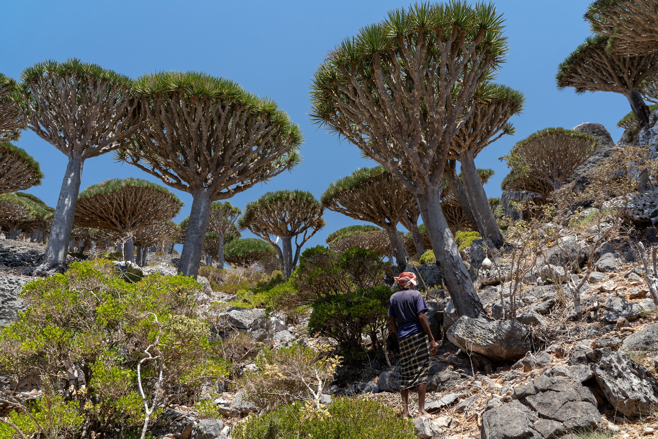 Dragon's Blood Trees grow from the rocky mountain face in central Socotra's Haggier Range. For the first 30 some years of their existence, these trees resemble a small bush, before they begin to grow a trunk. Then, after an unknown amount of time they slowly develop branches. These trees are hundreds of years old and under threat. Since the introduction of goats to Socotra, baby Dragons are gobbled up and now only can be found in nurseries in significant numbers.