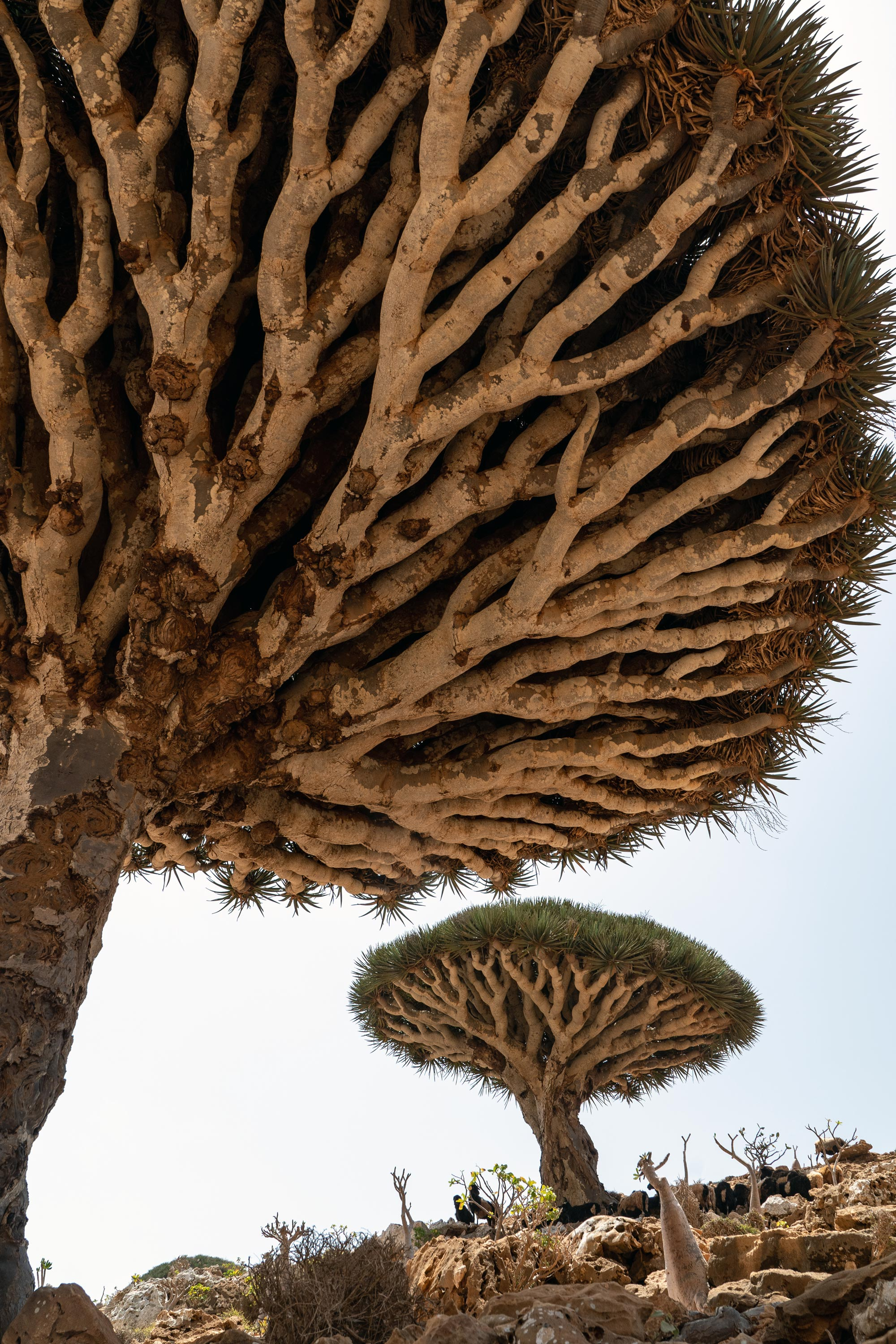 An up-close view of the branches of a Dragons Blood Tree. Goats graze beneath them, as the trees provide shade, and curious looking bottle trees with their small sprouts of leaves and flowers lie just outside of their shadow.