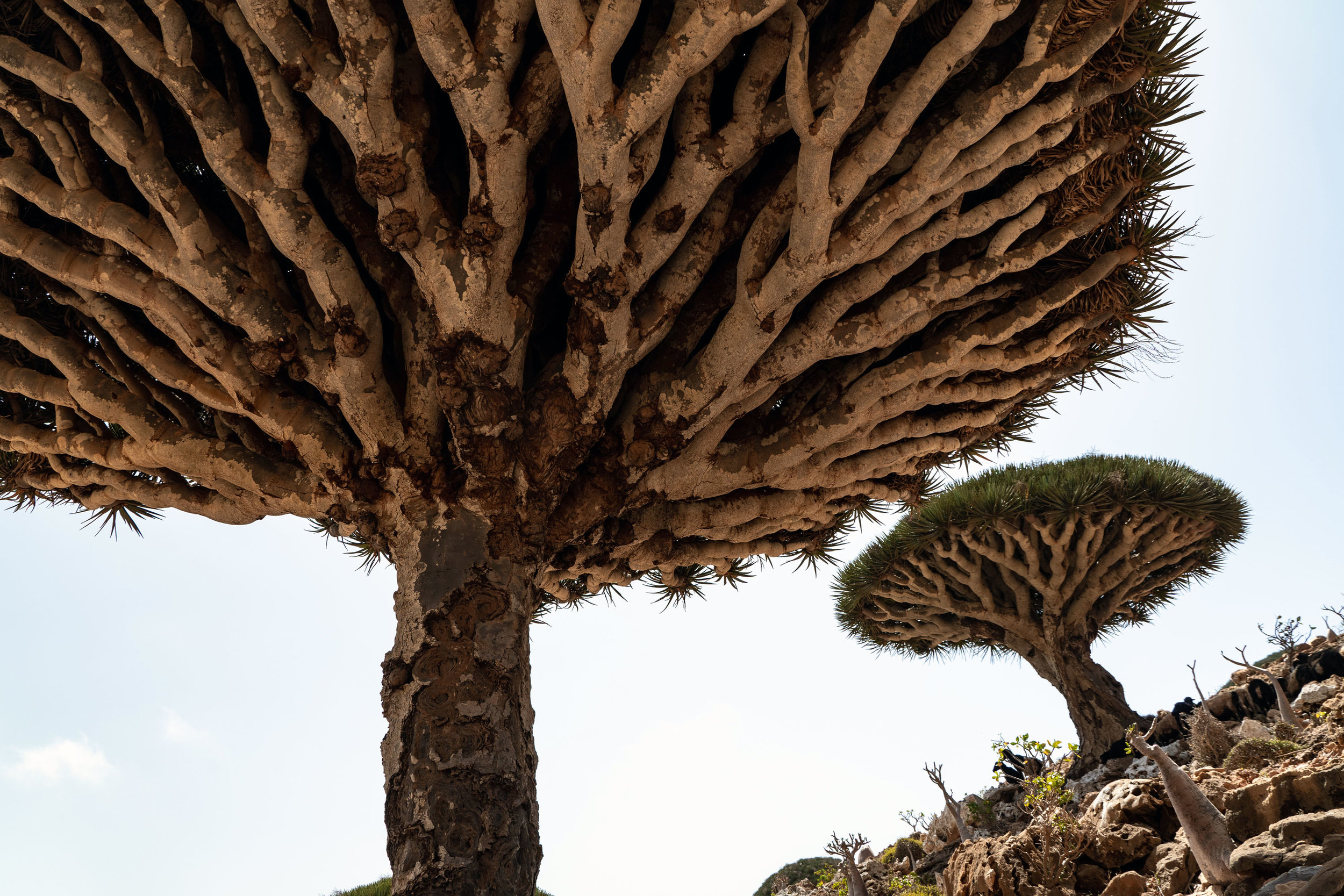 Socotra's famous Dragon's Blood Trees in Homhil, Socotra, Yemen.