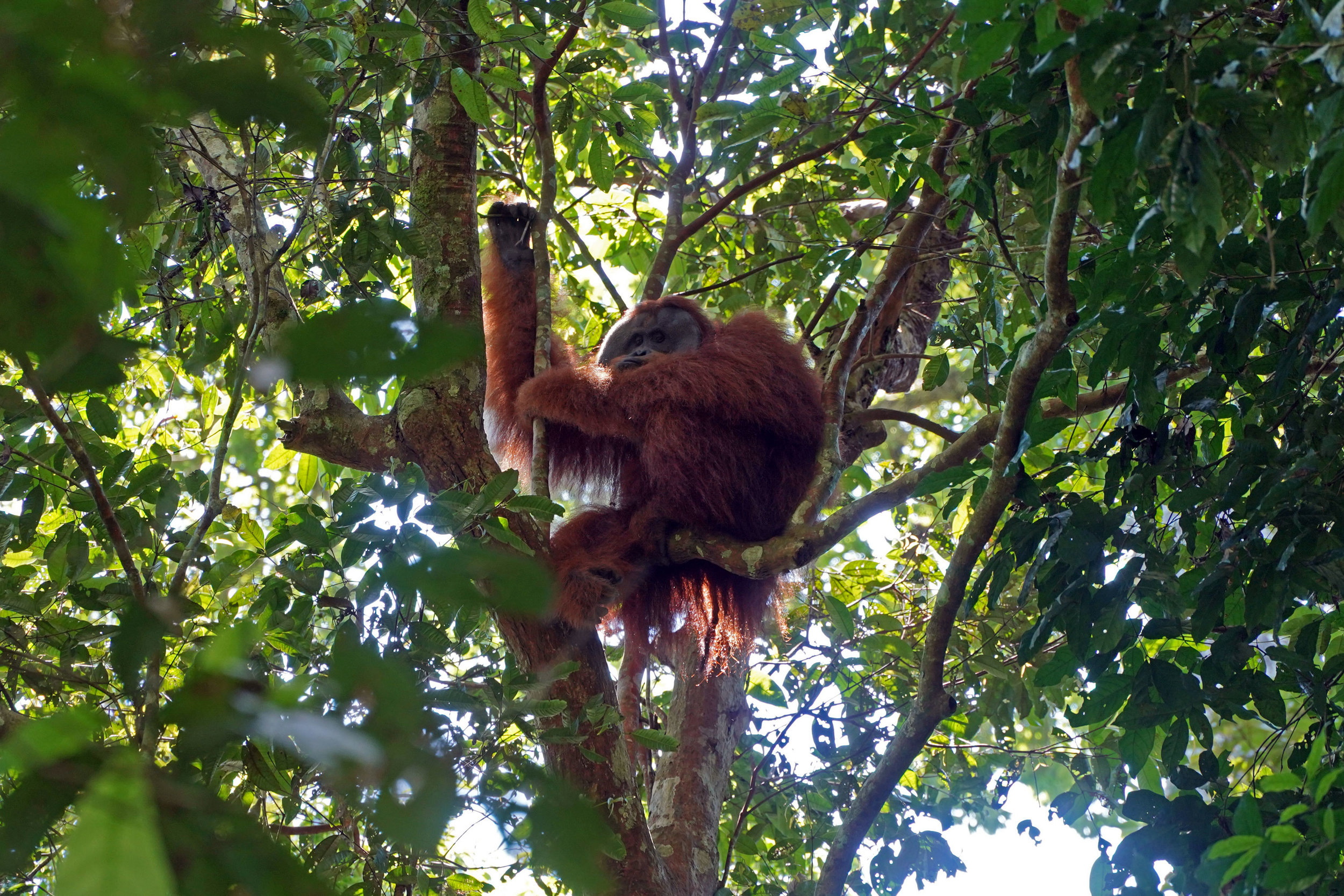 A wild male orangutan looks on from his tree-top home in Gunung Leuser National Park, Sumatra, Indonesia.