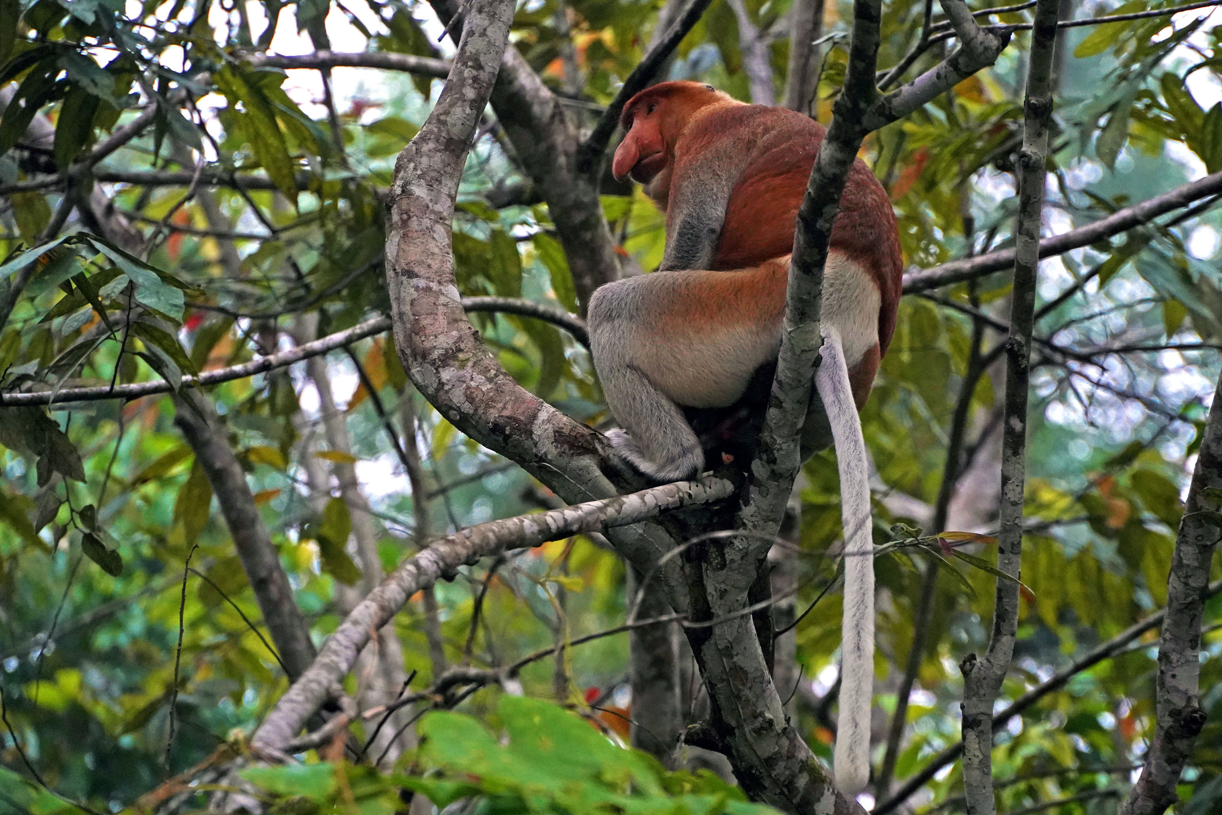 A proboscis monkey in the Kinabatagan Wildlife Sanctuary in Sabah, Malaysia.
