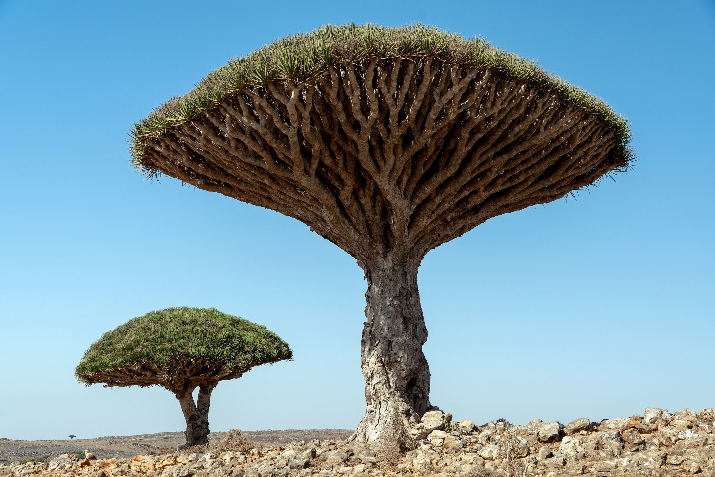 Dragon's Blood Trees on the Diksam Plateau.