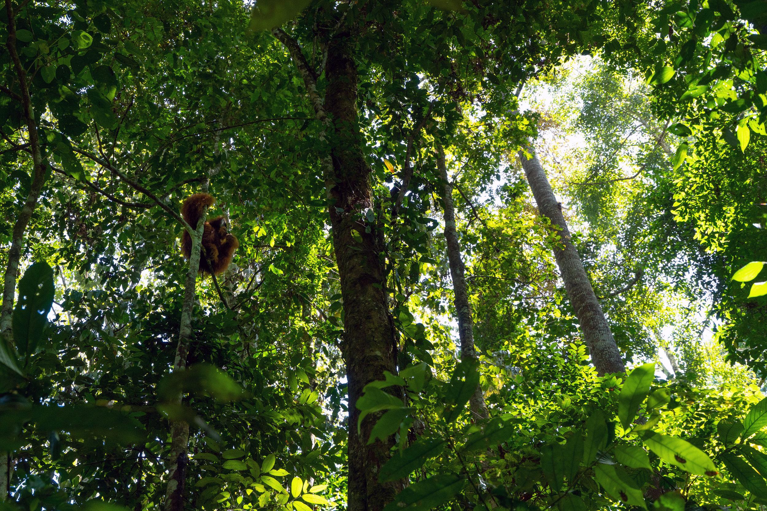 wild-orangutan-ketambe-sumatra-indonesia-trekking-hiking-wildlife-trip-inertia-network-aceh.jpg