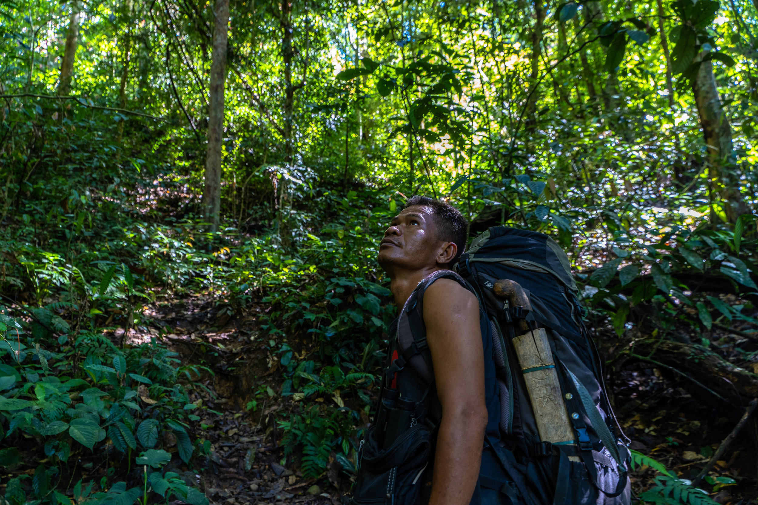 Jhon, our trekking guide in Sumatra, looks for wildlife in the trees.