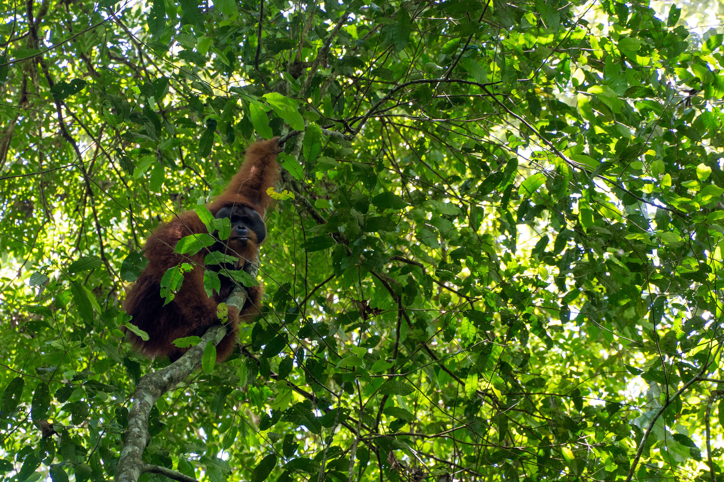 A large male wild orangutan in the jungle of Gunung Leuser National Park.