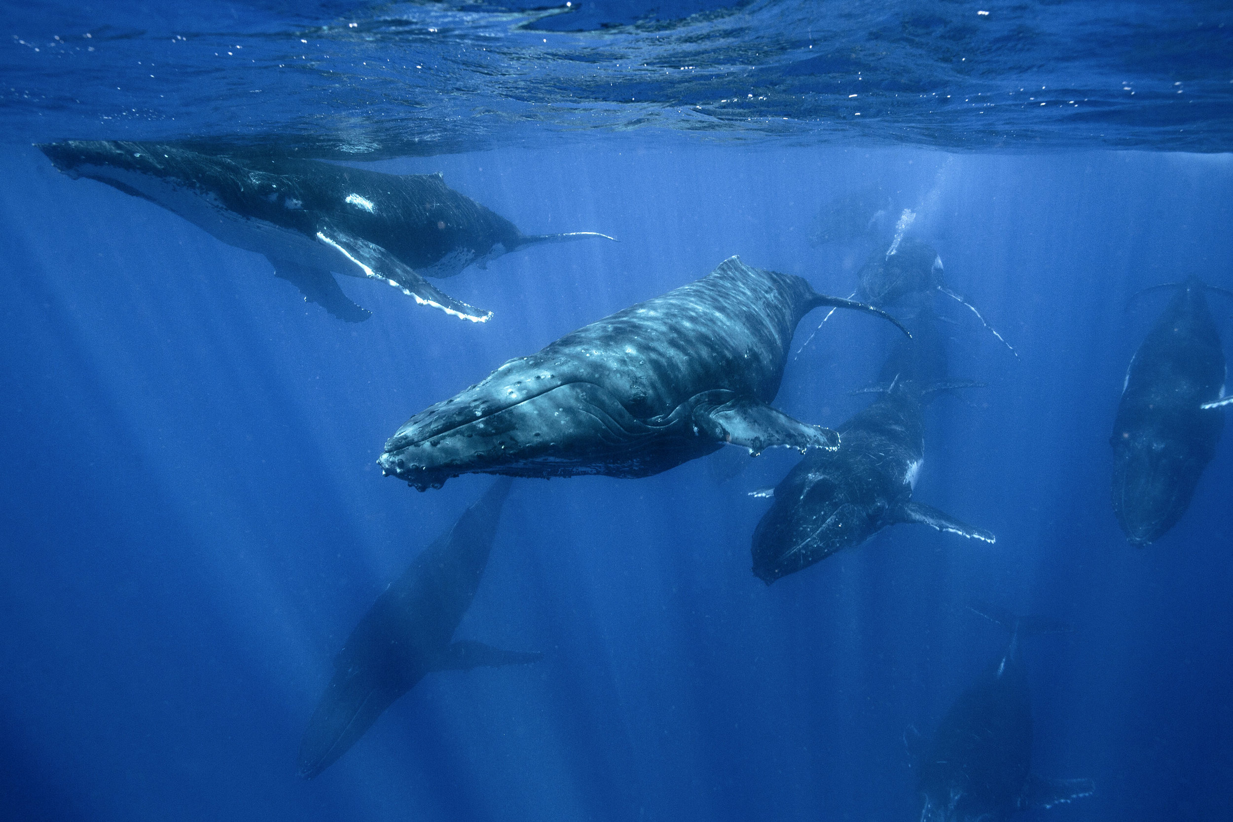 A pod of humpback whales off the coast of Vava'u, Tonga during a heat run.