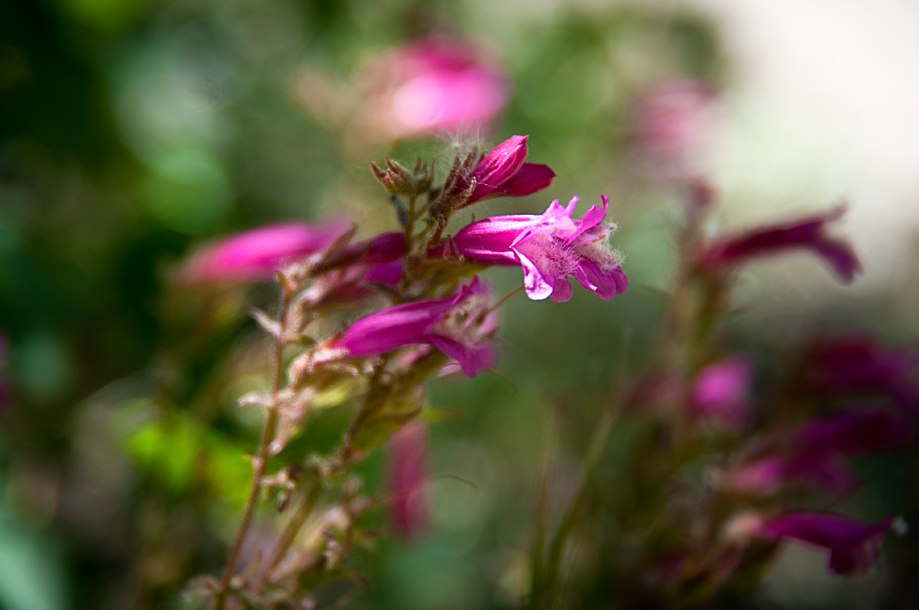 Alpine Penstemon | Penstemon davidsonii