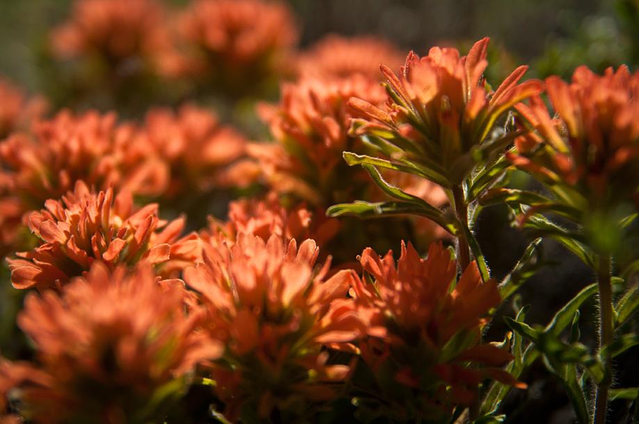 Applegate's Paintbrush (orange)   Castilleja applegatei