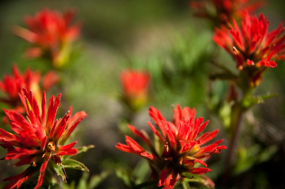 Applegate's Paintbrush (red)   Castilleja applegatei