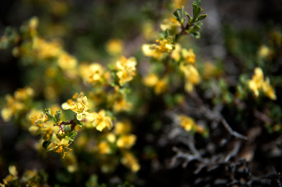 Bitterbrush | Purshia tridentata