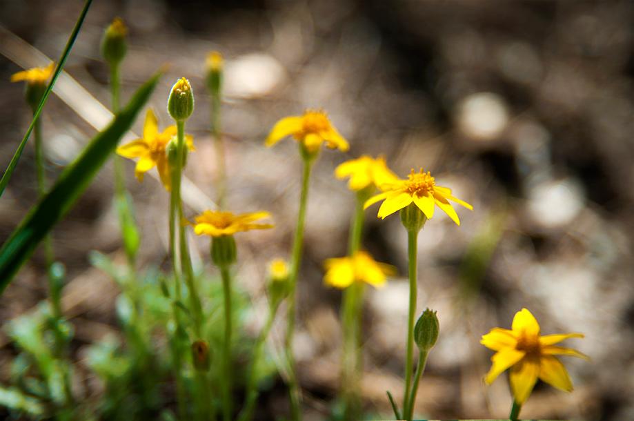 Heart-leaved Arnica | Arnica cordifolia