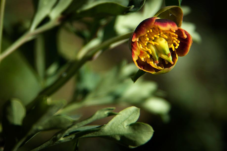 Peony   Paeonia brownii