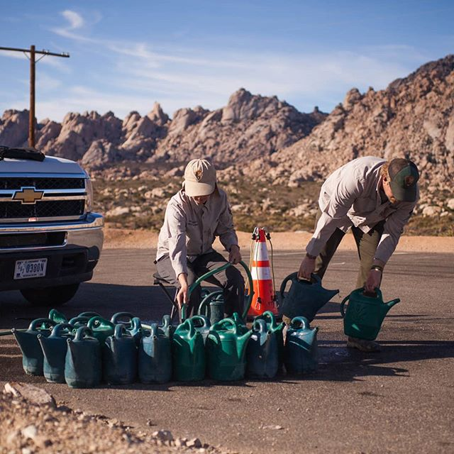Filling cans to water plants at our restoration sites in the Mojave Preserve.