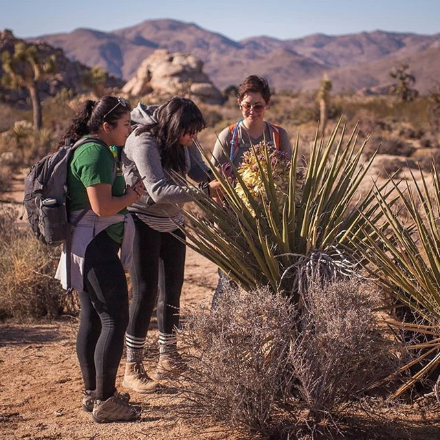 Vegetation staff at @joshuatreenps record GPS and phenological data on this flowering Mojave yucca (Yucca schidigera). A number of flowering yuccas and Joshua trees have been reported this fall and early winter, contrasting with the species' typical springtime reproductive season. Staff will follow up with this unusual phenomenon to see whether these plants will set fruit. It's expected that fruit will not develop since yucca flowers are only pollinated by obligate yucca moths, emerging only during the normal early to peak period of local flowering phenology (i.e. during spring). These yucca are months ahead of schedule. If fruit do develop, that will raise a lot of interesting questions about the mutualistic relationship that the moths share with yuccas. . . #joshuatreenps #joshuatreenp #jotr #jtnp #joshuatree #yucca #yuccabrevifolia #yuccaschidigera #mojave #desert #mojavedesert #yuccamoth #phenology #science #nps #nationalparkservice #nationalpark