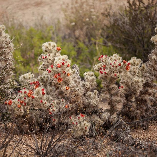 Finally got to see the Chuckwalla Cholla in flower! Cylindropuntia chuckwallensis (Cactaceae) is a newly described (2014) species occuring on rocky soils on hillsides, washes, and canyon walls between 400-1600m. In Joshua Tree NP, they can be found near Cottonwood Oasis and in the Eagle Mountains. Historically identified as C. echinocarpa (silver cholla), herbarium specimens would often note the odd orange-red flowers contrasting from the typical green-yellow flowers of the silver cholla. In addition to its unique combination of characters, recent genetic work concluded that the cactus is genetically distinct from its closest morphological relatives. Tucked safely away in canyon walls, no current conservation concerns are associated with known populations. . . . #jtnp #joshuatreenationalpark #joshuatreenp #joshuatree #cylindropuntia #chuckwallacholla #cholla #cylindropuntiachuckwallensis #cactaceae #cactus #cacti #botany #mojave #mojavedesert #sonorandesert #desert #floraofcalifornia #cnps #flora #wildflowers #calflora #plantsmakepeoplehappy #plantsplantsplants #californianativeplants