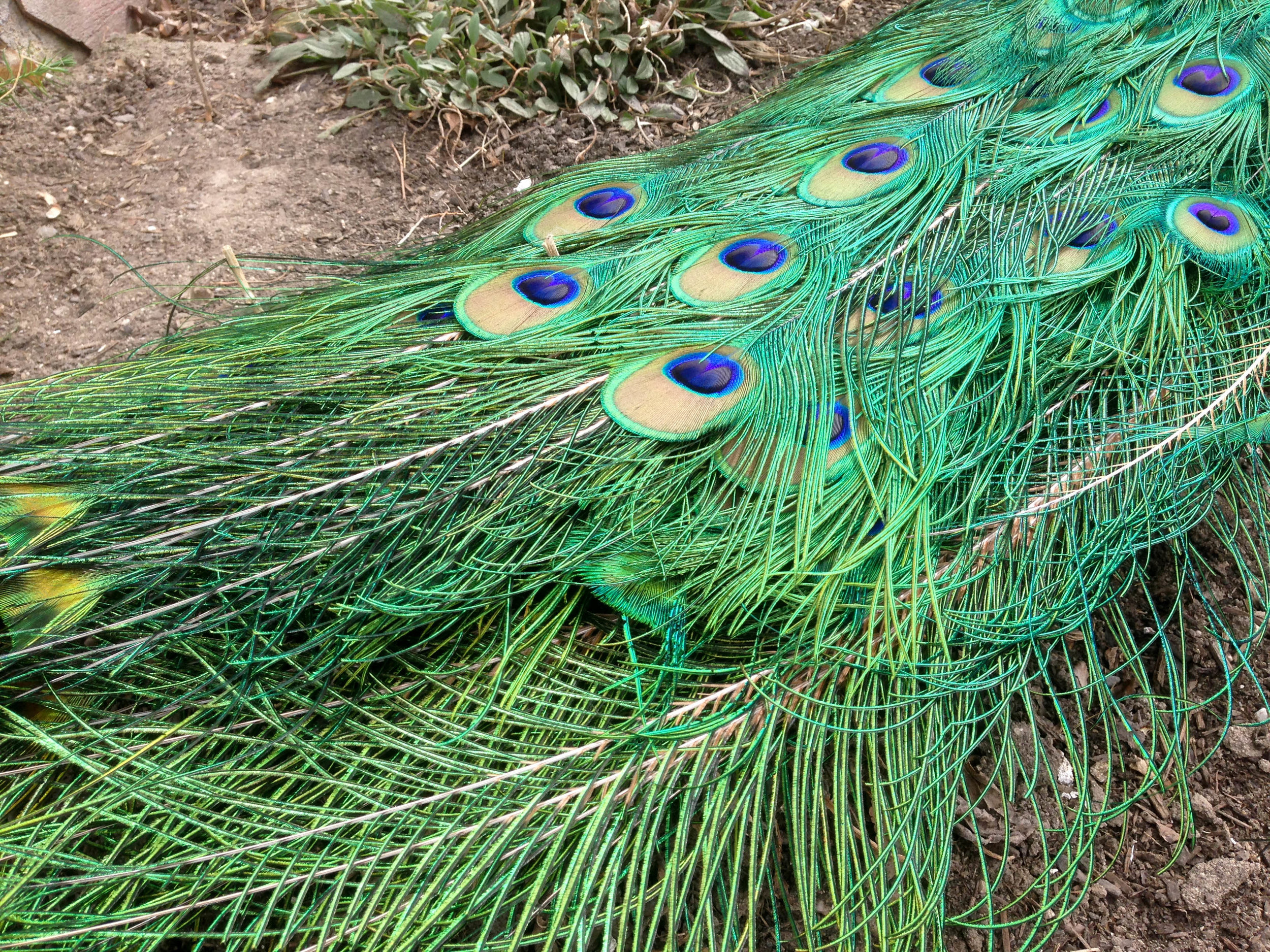 A peacock's tail feathers drag along the ground at Salt Lake City's  Tracy Aviary  in 2015.