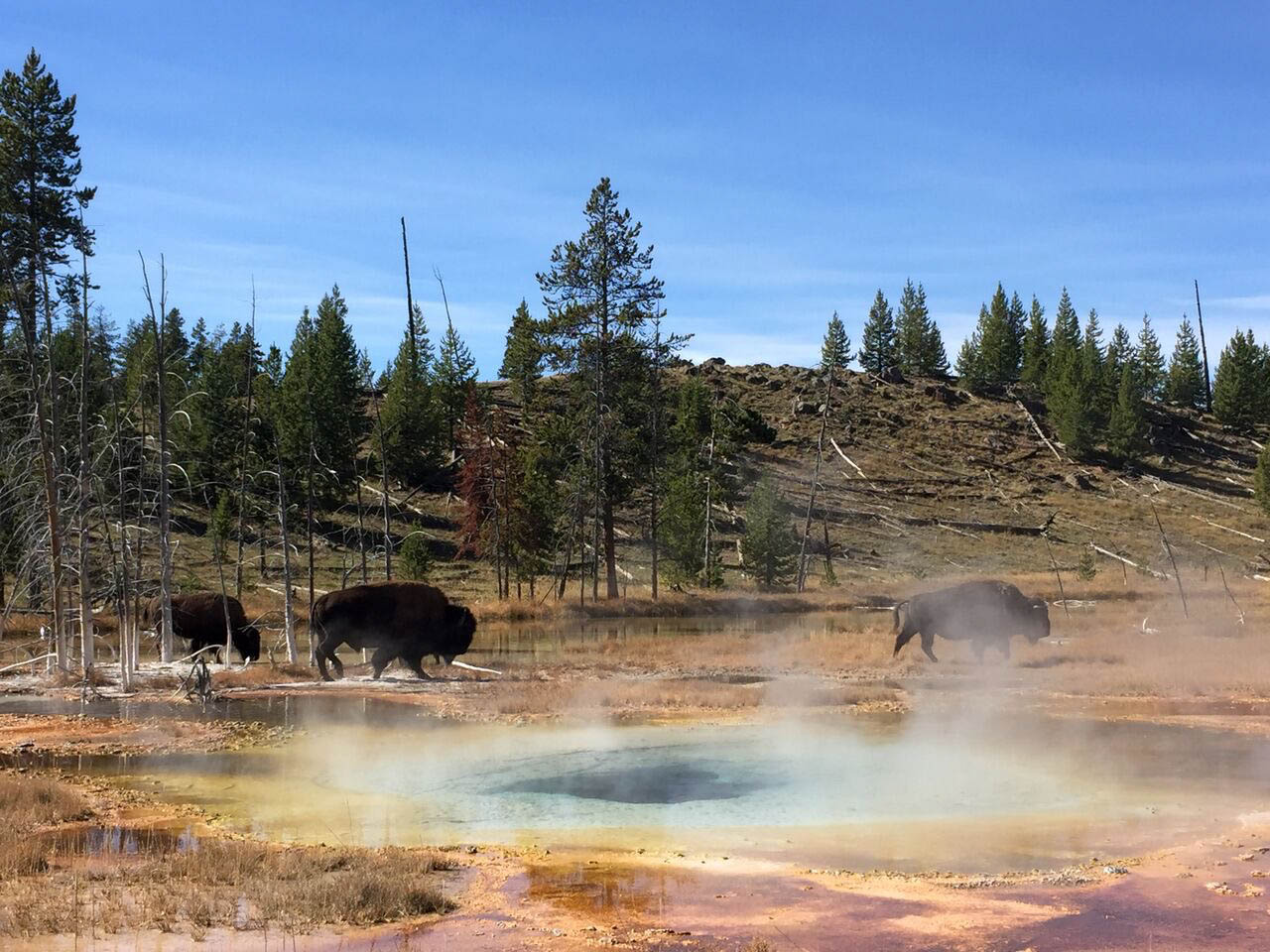 A herd of bison walks though the active geothermal landscape of  Yellowstone National Park  in 2016.