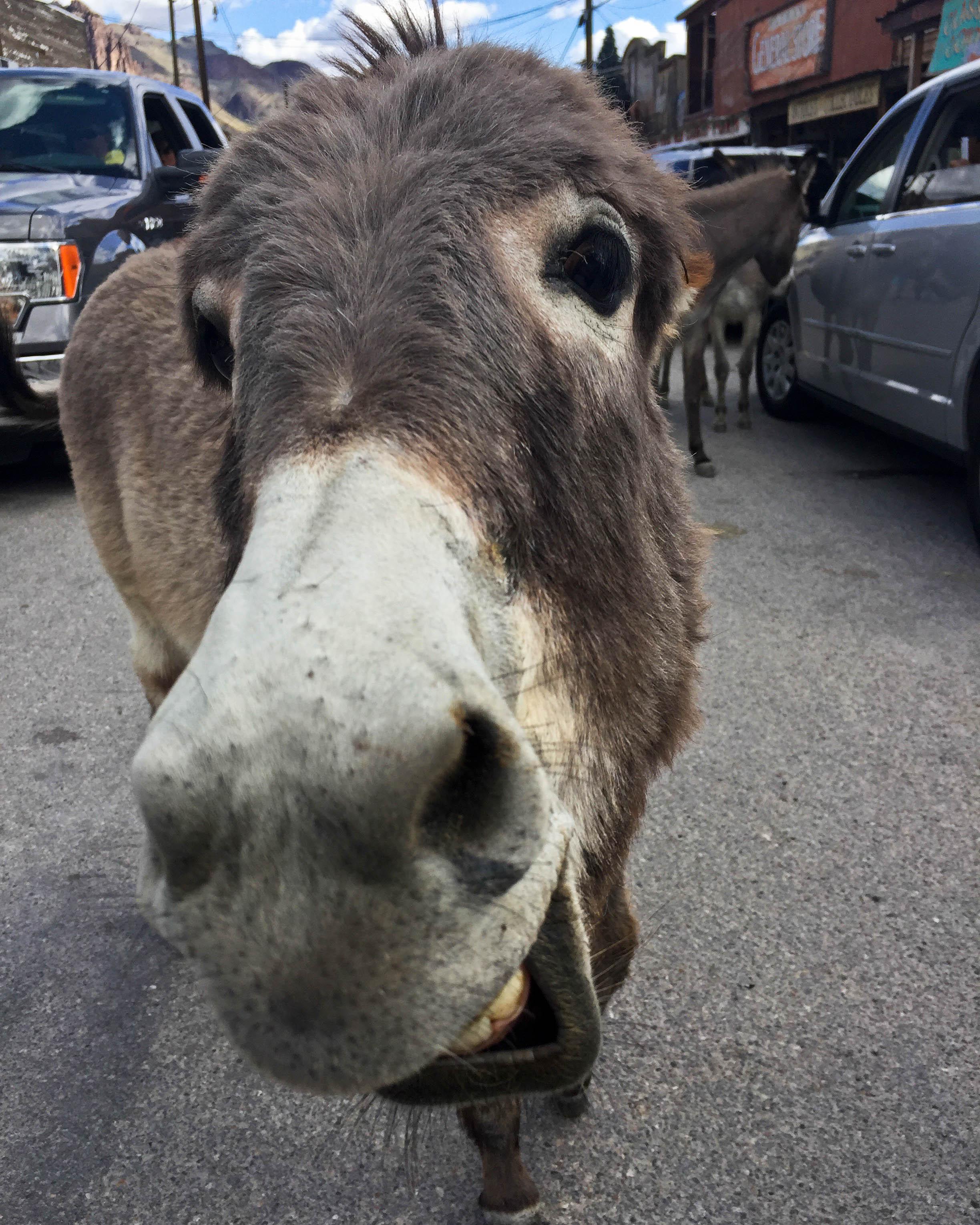 A donkey in Oatman, Arizona, reacts grumpily to having its photograph taken. 2017.