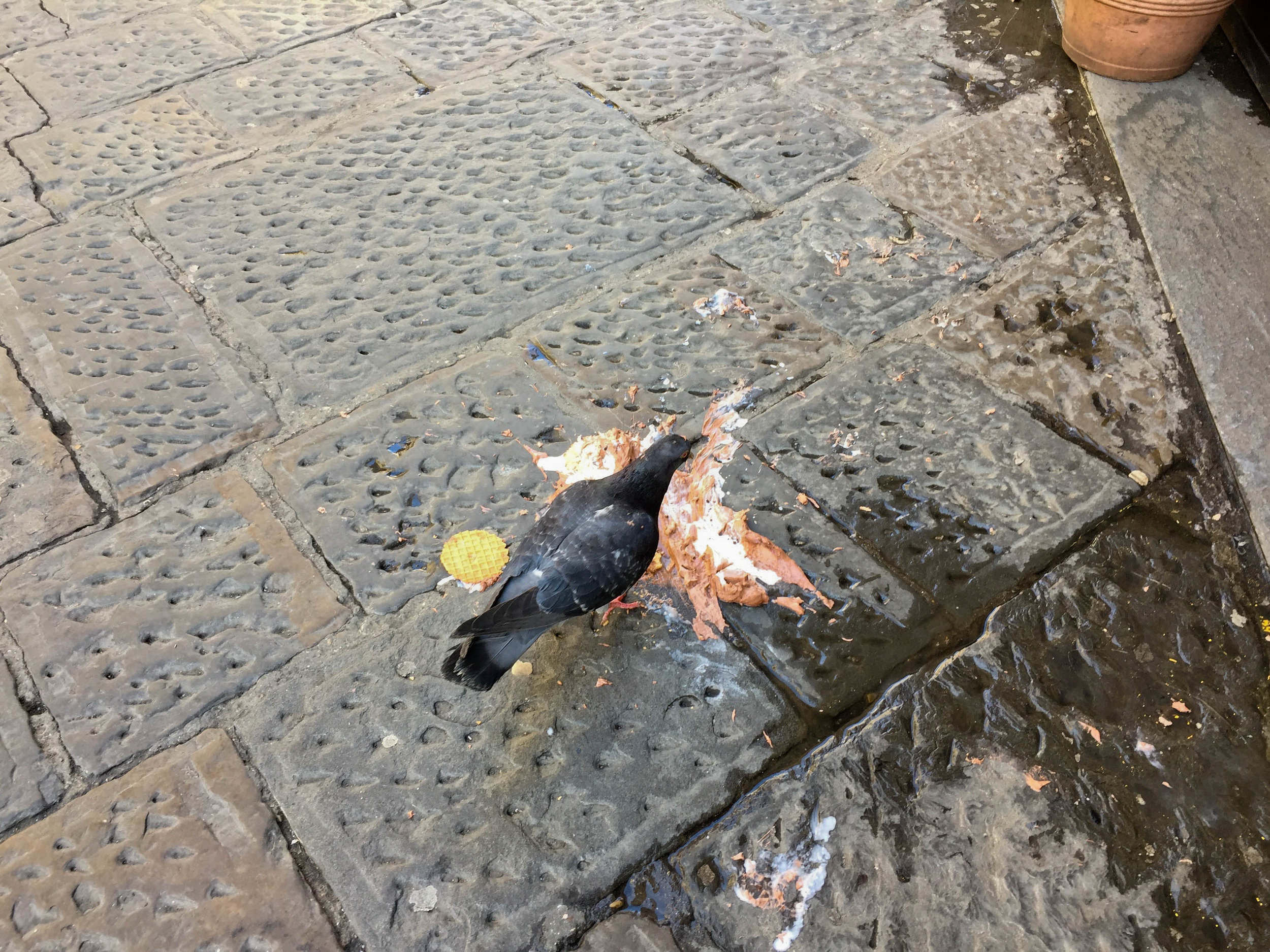 In Italy, even pigeons eat well. We saw them dining on gelato, parmesan rinds, and proscuitto in March 2017.