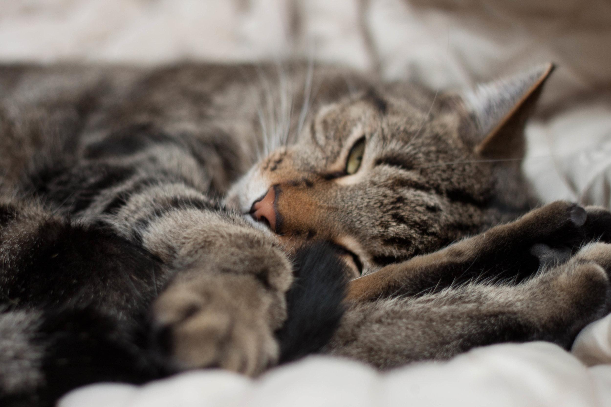 My cat, Chiyo, naps at home.