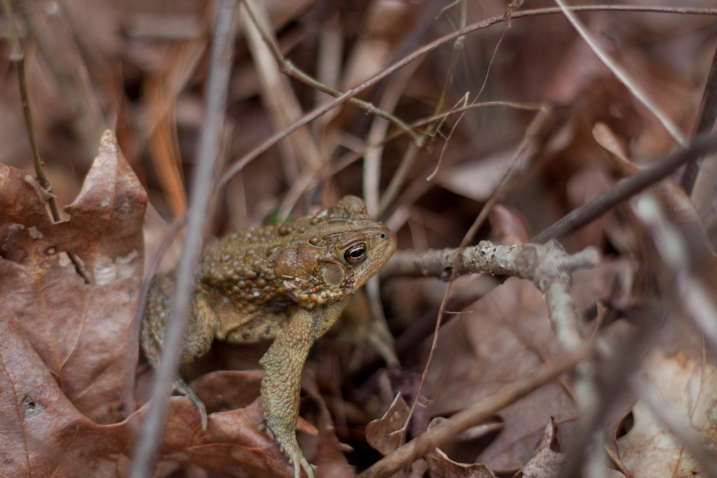 A toad rests in the leaves on a Connecticut forest floor, 2014.